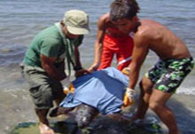 Dalyan caretta rescue